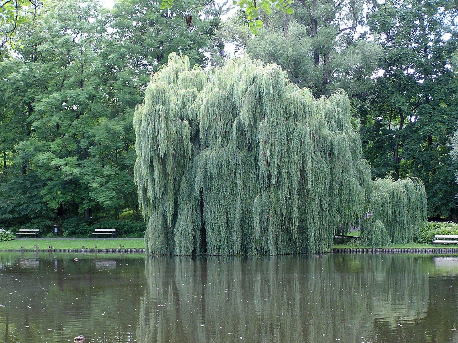 I tre alberi leggenda meravigliosa da leggere for Rami di salice